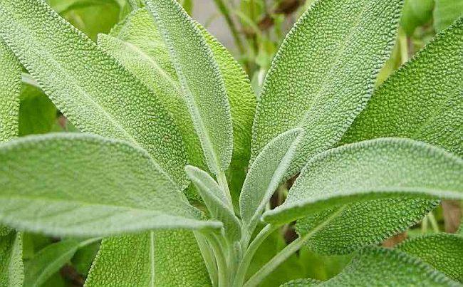 Ce putem prepara din frunzele de SALVIE - o plantă de mare ajutor în INFECȚII, DURERI, tulburări NERVOASE și multe alte probleme de sănătate | La Taifas
