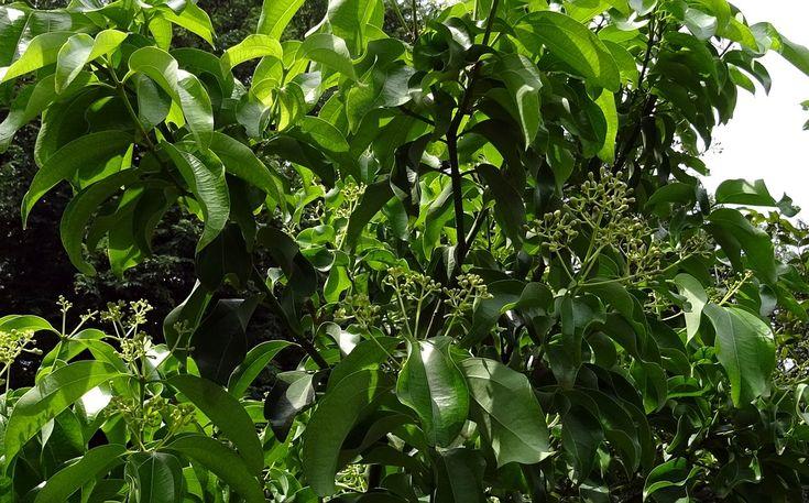 Bobkový list asi nie je potrebné predstavovať nikomu. Táto rastlina s pravým názvom vavrín pravý má tvrdé, kožovité, predĺžené, kopijovité až oválne listy, ktoré sme videli a držali v rukách už hádam všetci. Menej známy je fakt, že rastie na stálo zelenom