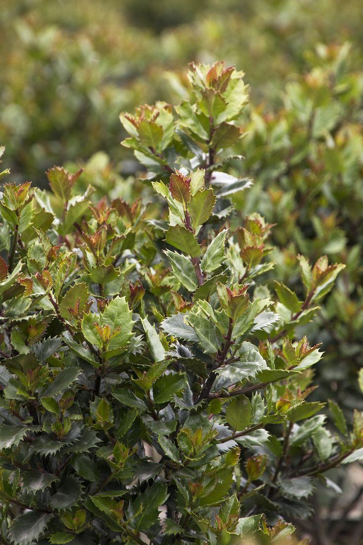 107 best winter plants images on pinterest plant catalogs