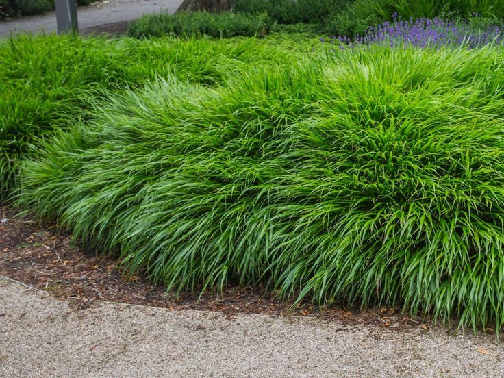 Pin On Carolwood Grasses