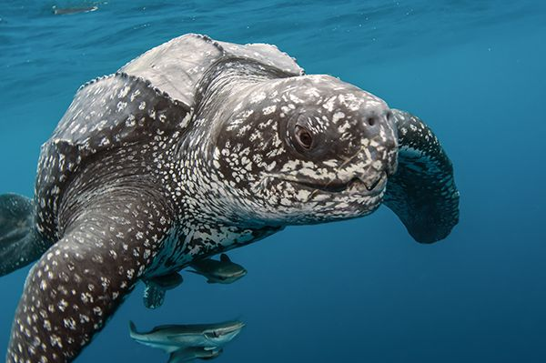 Puerto Rico protects leatherback hatching grounds. #Caribbean
