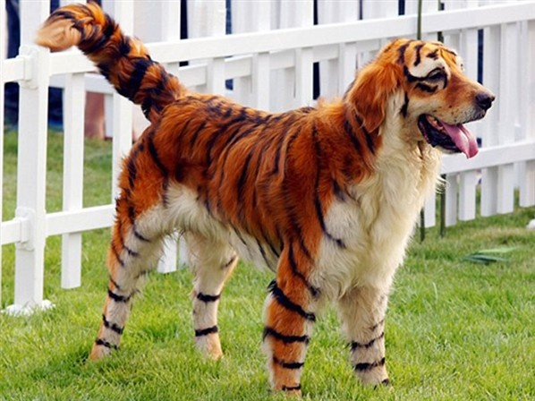 dog or tiger wow