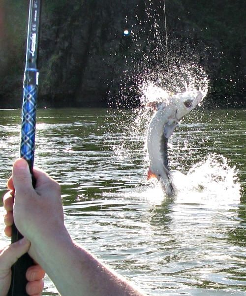 Sturgeon fishing on the Columbia river in Oregon. These white fish taste better then Halibut in my opinion and are so fun to fish for!