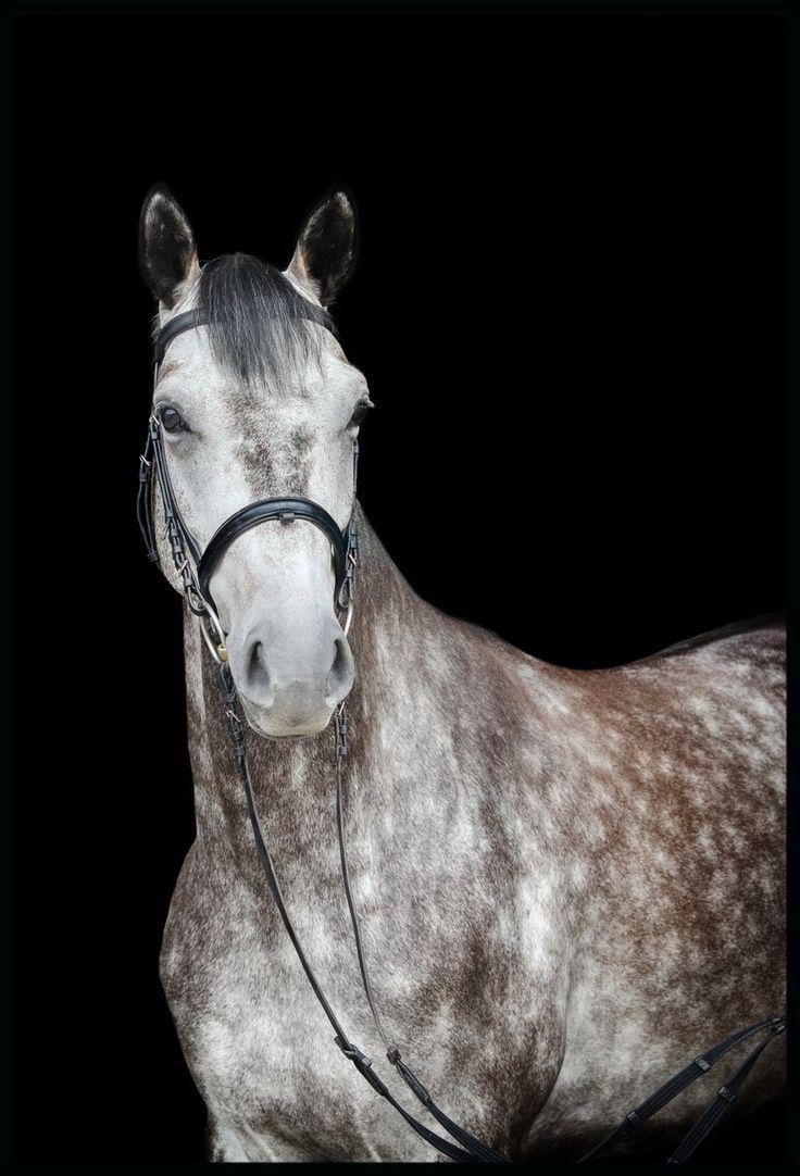 Ihr Pferd Montreal, ein Oldenburger Springpferd, Wallach, Schimmel. Alter 2009, Abstammung: Kassandra (Grapaldi)/ Monte Bellini