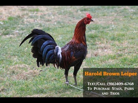 Harold Brown Leiper Fatal Fury Game Farm - YouTube #gamefowl
