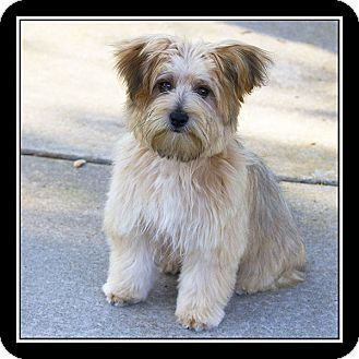 maltese havanese 1000 images about little dogs need to be adopted 6246
