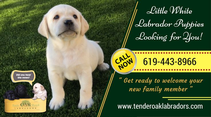Perfect Labrador Pets for Your Home