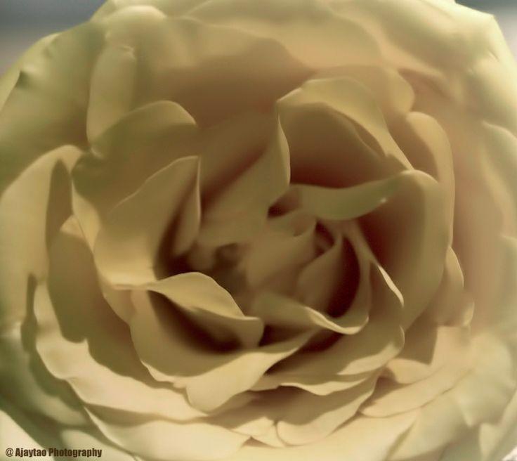 Delicate rose - Ajaytao