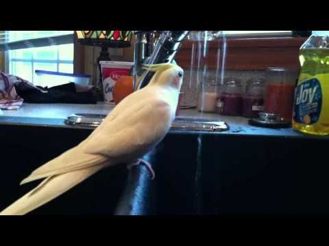 how to train cockatiel to whistle