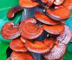 Reishi mushrooms | Smoking Wood and Mushrooms | Pinion Wood | Mushrooms for sale at http://GrowOKC.com