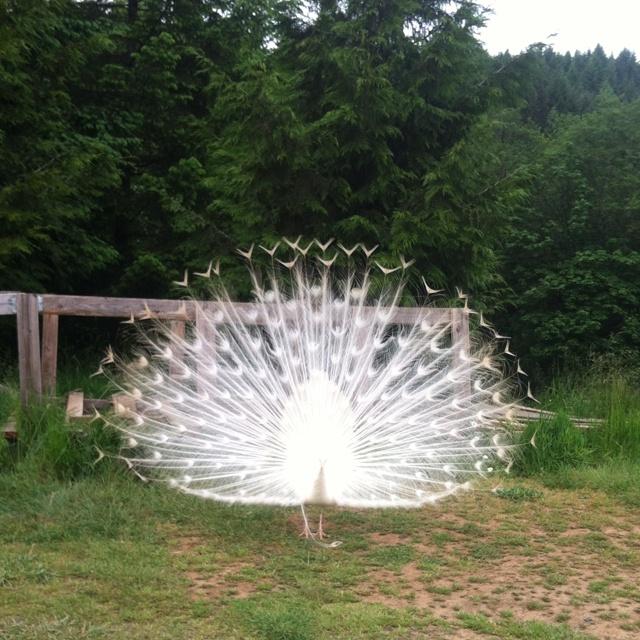 Elbono peacock , hornings hideout: Wedding Inspiration, Hornings Hideout, Elbono Peacock, Festival Fun, Animal