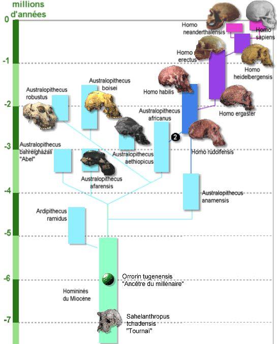 Un arbre phylogénétique des hominidés parmi bien d'autres