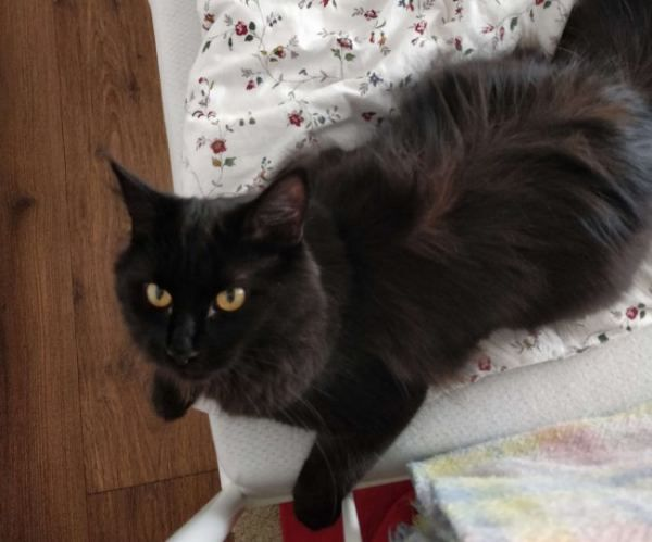 Pin On Maine Coon Info