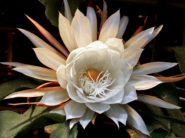 stunning Queen of the Night, Epiphyllum oxypetalum, 曇花 by AlfredSin, via Flickr....