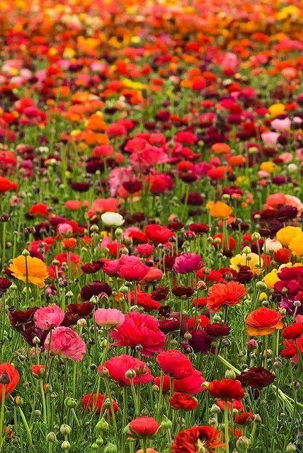Alaska summer - arctic poppies