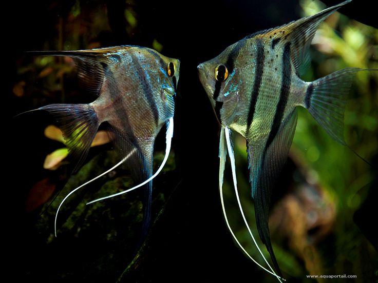 Pterophyllum scalare (Scalaire) - AquaPortail
