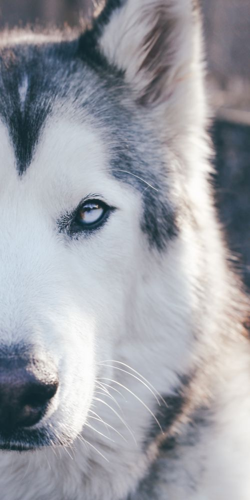 Loki is a low content Wolfdog (husky, arctic wolf, malamute) living in Colorado where the adventures never end...