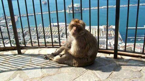 Berberaap Gibraltar