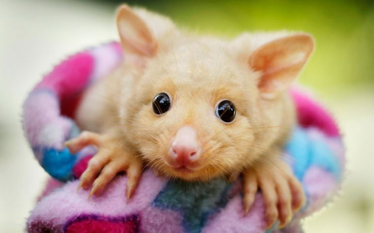 Golden Brushtail Possum: Animal Baby, Golden Brushtail, Photography Projects, Animal Track, 6 Month, Baby Animal, Nature Photography, Brushtail Possum, Cutest Animal