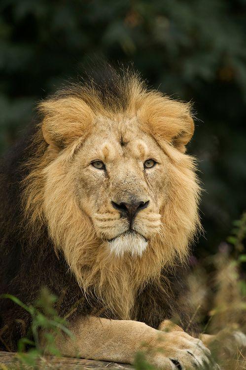 Asian Lion (Panthera leo persica)