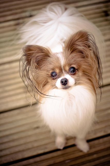Those pleading eyes! (by Milliemoo4, via Flickr) (Papillon)