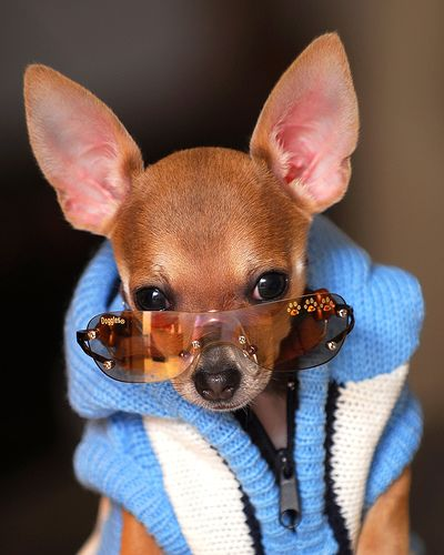 Stylish Chihuahua - so, so silly! ........