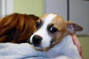 Shenandoah Valley Animal Service Center Adoption Search Results