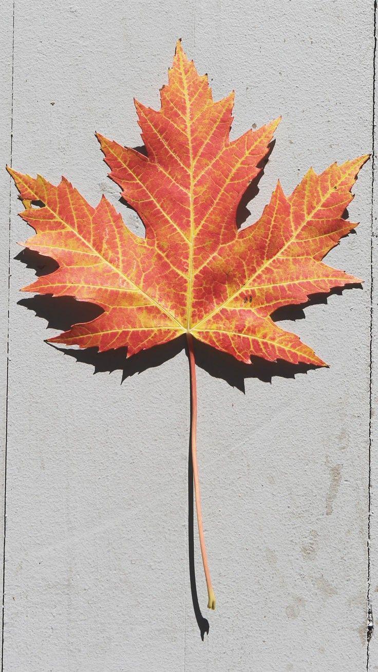 New Autumn fall leaves orange wallpaper 11