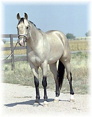 Silver Buckskin Quarter Horse