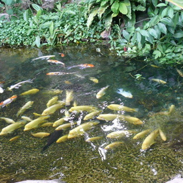 24 best images about ponds on pinterest backyard ponds for Popular pond fish
