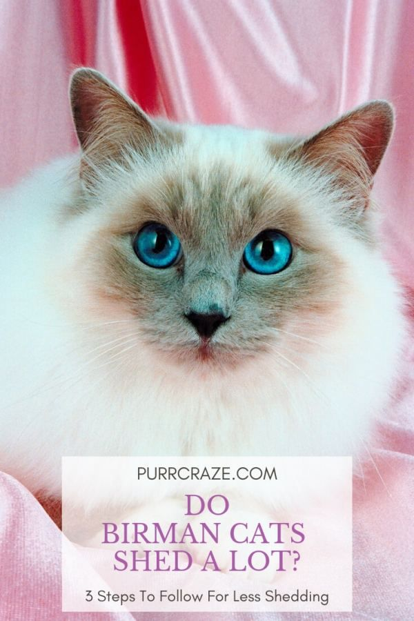 Do Birman Cats Shed A Lot 3 Things To Keep In Mind Purr Craze Birman Cat Cat Shedding Why Do Cats Purr
