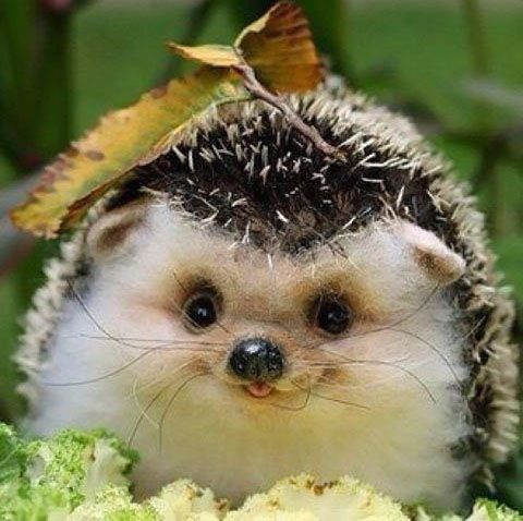 Happy little baby hedgehog