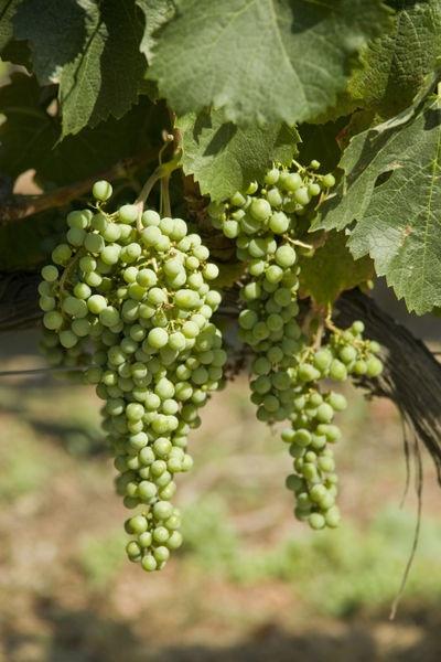 Casa Blanca Valley, wine growing region west of Santiago, Chile. Vina Veramonte Winery. Copyright: National Geographic / Richard Nowitz