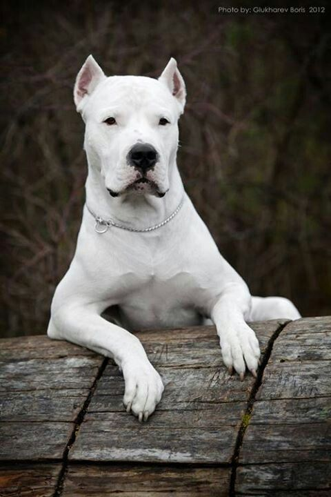 Dogo Argentino...Diesel's mom is a dogo... like this...♥