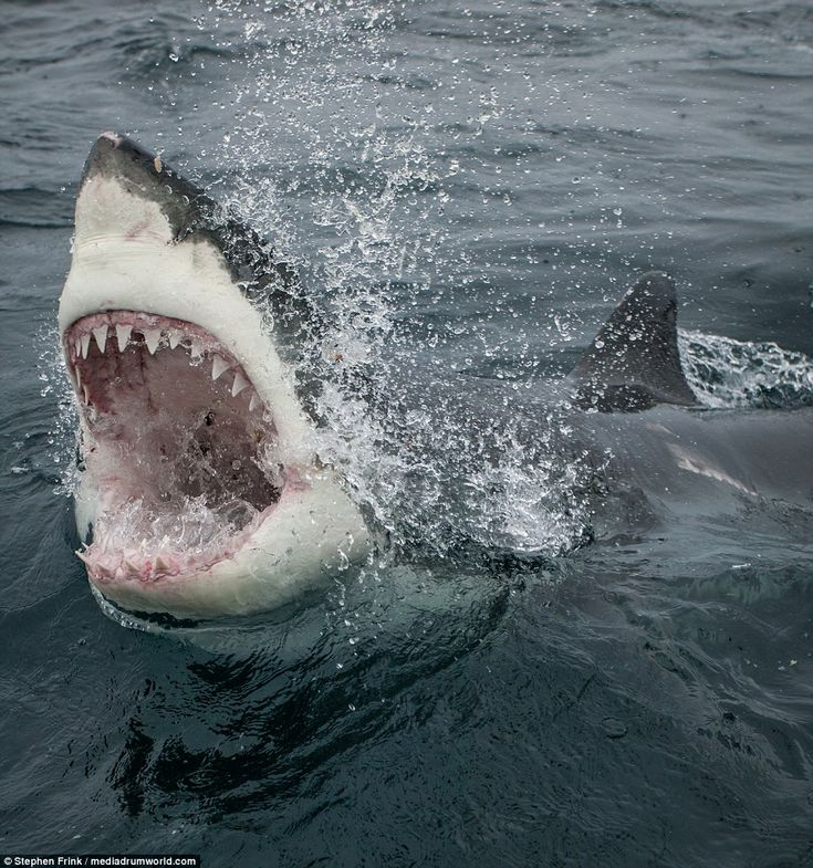 Mr Frink said that South Australia, South Africa and Mexico are his favourite places to dive with great white sharks