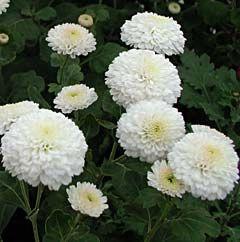 Chrysanthemum Indicum-Hybride 'White Bouquet' - Herbst-Chrysantheme