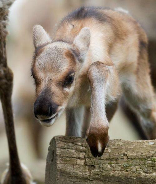 149 Best Reindeer Images On Pinterest  Reindeer, Deer And -6581