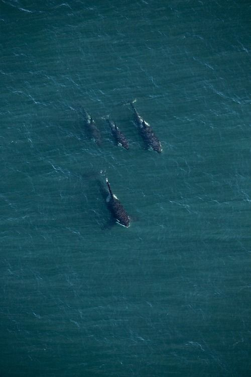 Transient Orcas offshore from Tofino, British Columbia