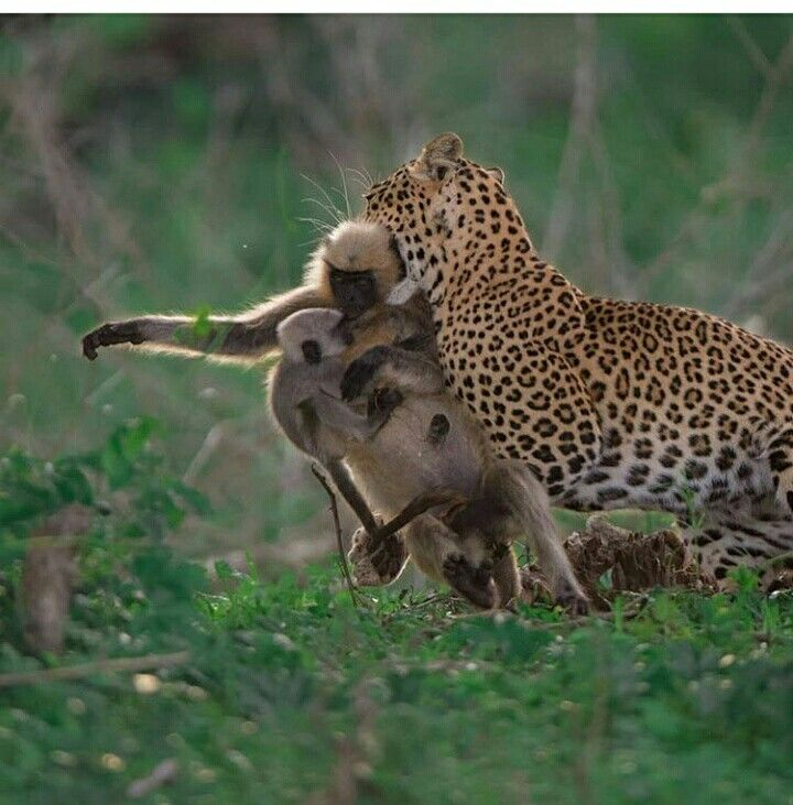 Leopardo Con Su Presa Cazar Animales Fotos De Animales Salvajes Animales Salvajes
