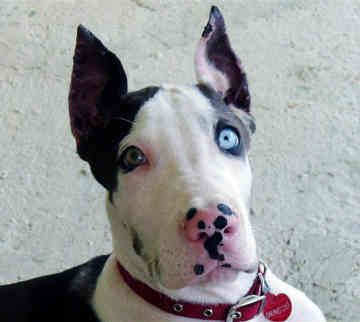 Beautiful!: Dane Puppies, Cool Eye, Pretty Eye, Beautiful Eyes, Ears, Darling Dogs, Great Danes Puppies, Work Dogs, Great Danes Dogs