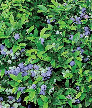 Blueberry Plant, Top Hat (compact Two Foot Plant Great For Patio Garden)