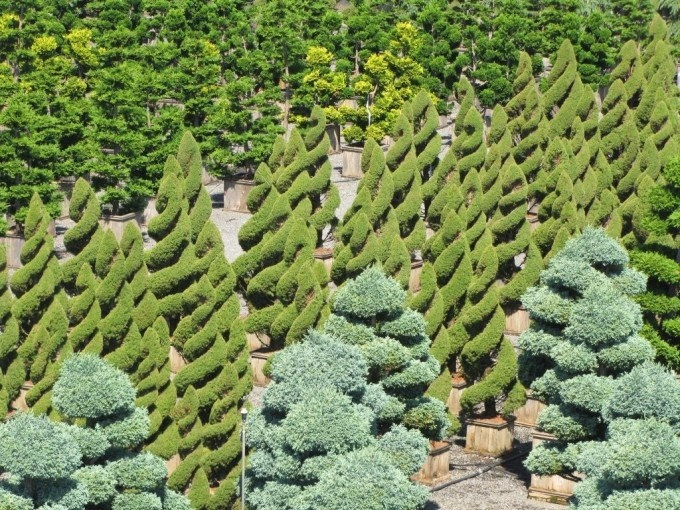 picea glauca 39 conica 39 spiral deer resistant this is a spiral form of alberta spruce they. Black Bedroom Furniture Sets. Home Design Ideas