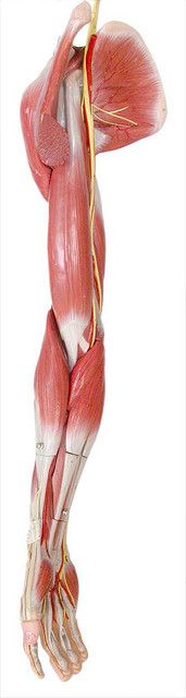 Muscles of the upper limb...