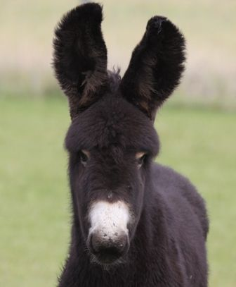 baudet du poitou donkeys - Google Search