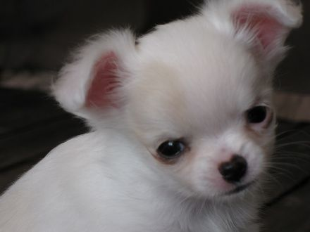 Baby Lily, 8 week old chihuahua pup <3