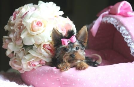 Yorkies For Sale - Teacup Yorkies #yorkie #puppy #teacup #dog #yorkie #puppy #teacup #dog
