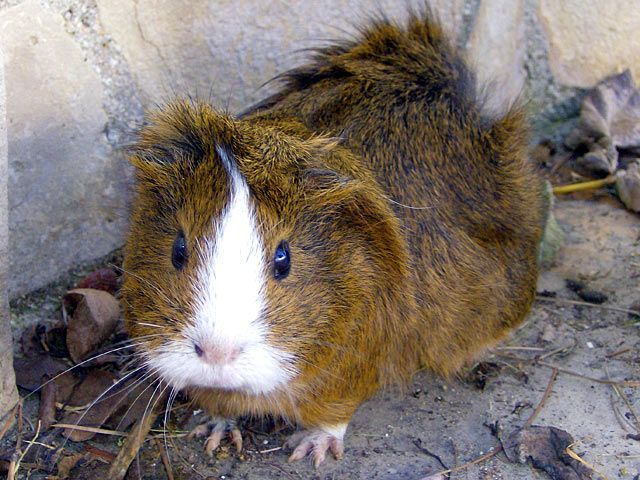 Irish Crested Meerschweinchen Guinea Pigs Pinterest