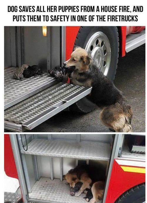 Mommy saves her puppies from a house fire and brings them to safety in the fire truck: Mothers, Sweet, Heroes, Fire Trucks, Puppys, Firetruck, House, Dogs Save, Animal
