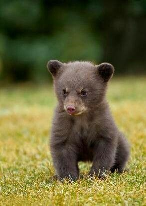 A bear cub in the Smoky Mountains. | Animals | Pinterest ...