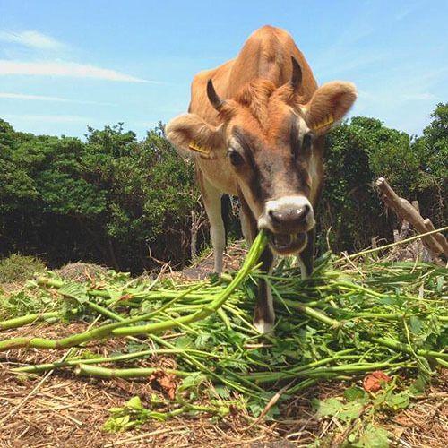 八丈島には牧場もある「八丈島ジャージー牛乳」は飲んでおきたい。八丈島の見所!